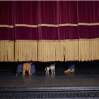 The dogs of Battersea Dogs & Cats Home on stage at Richmond Theatre